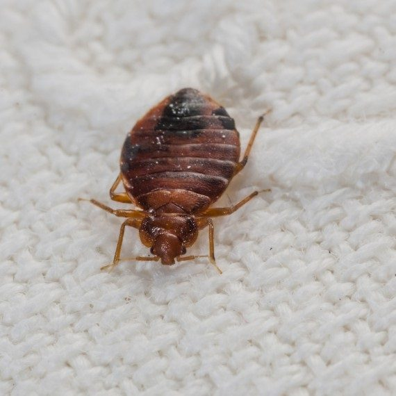 Bed Bugs, Pest Control in Fulham, SW6. Call Now! 020 8166 9746