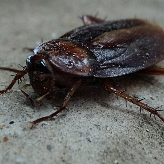 Cockroaches, Pest Control in Finchley Central, N3. Call Now! 020 8166 9746