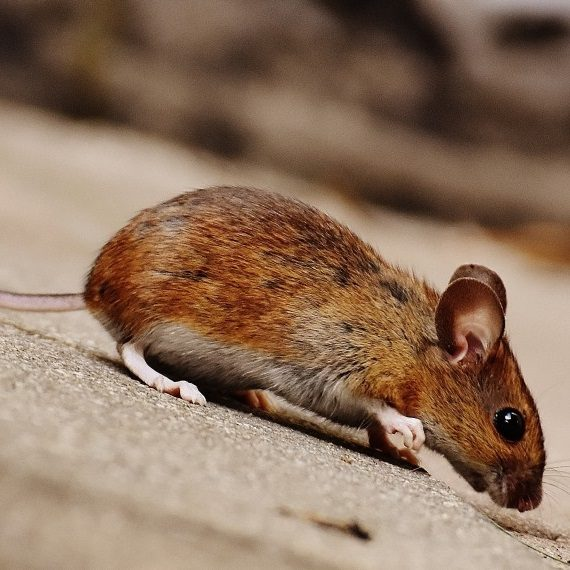 Mice, Pest Control in Finchley Central, N3. Call Now! 020 8166 9746