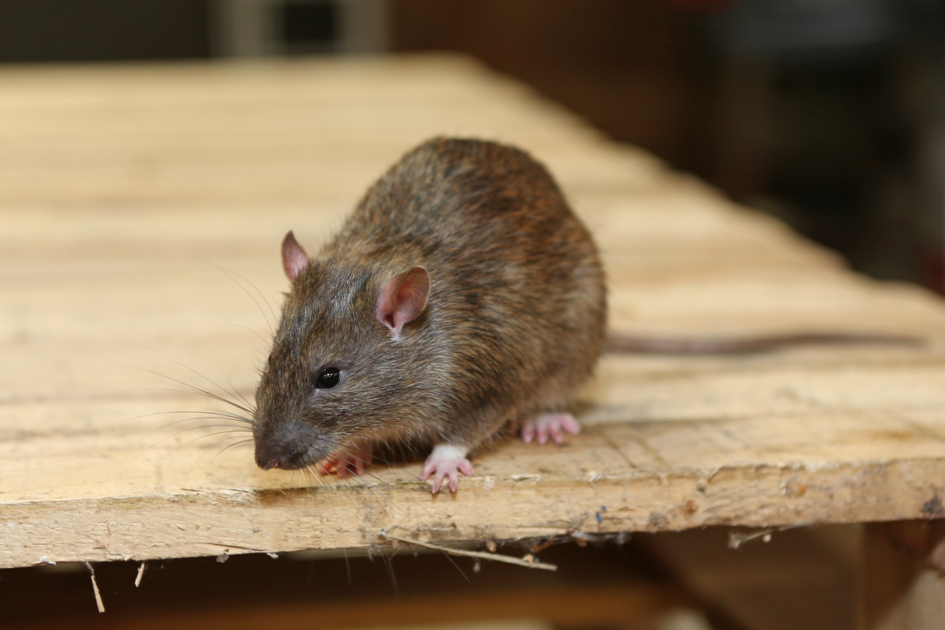 Rat Control, Pest Control in Roehampton, SW15. Call Now 020 8166 9746
