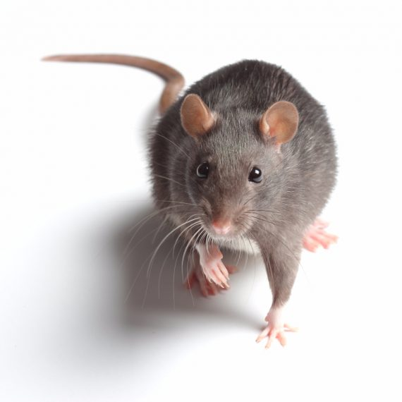 Rats, Pest Control in Finchley Central, N3. Call Now! 020 8166 9746