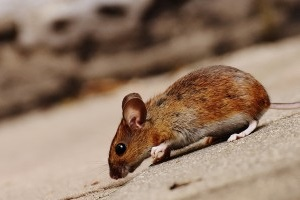 Mice Control, Pest Control in Abbey Wood, SE2. Call Now 020 8166 9746
