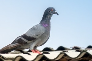 Pigeon Control, Pest Control in Abbey Wood, SE2. Call Now 020 8166 9746